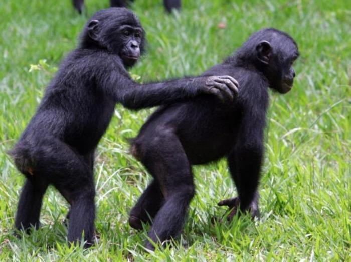 Kinshasa, Democratic Republic of the Congo  bonobo-72408173