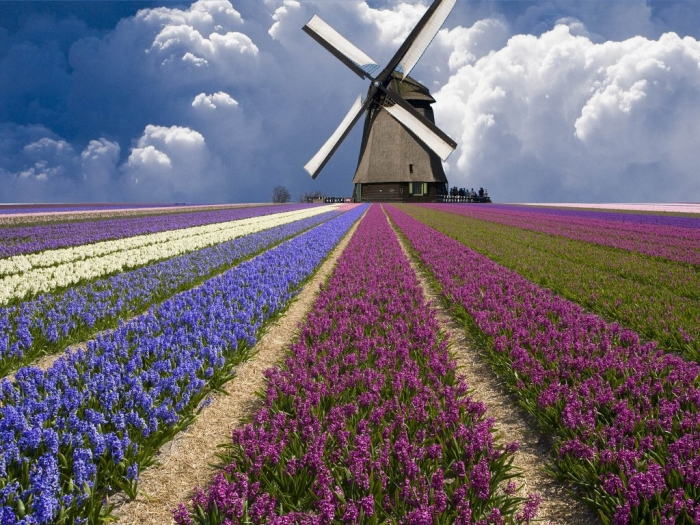 Netherlands-Flower-Fields-Wallpapers-and-Photos-03