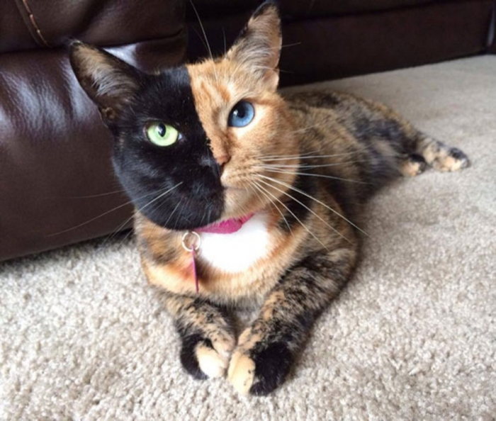 Venus-A-Cat-With-Two-Faces-3