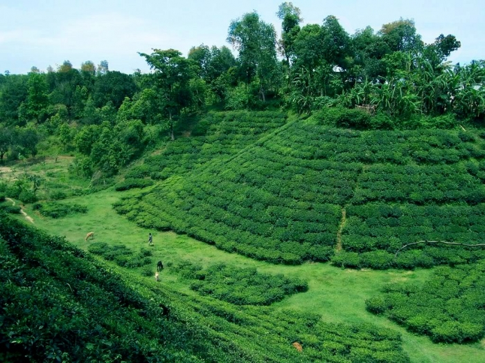 greatest view of tea gardeno of beautiful bangladesh in the hilly area