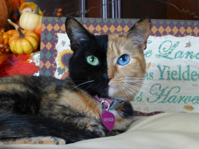 venus-chimera-cat-two-face-half-black-half-tabby-6