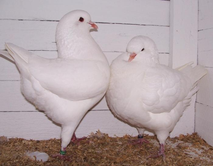 King_pigeons