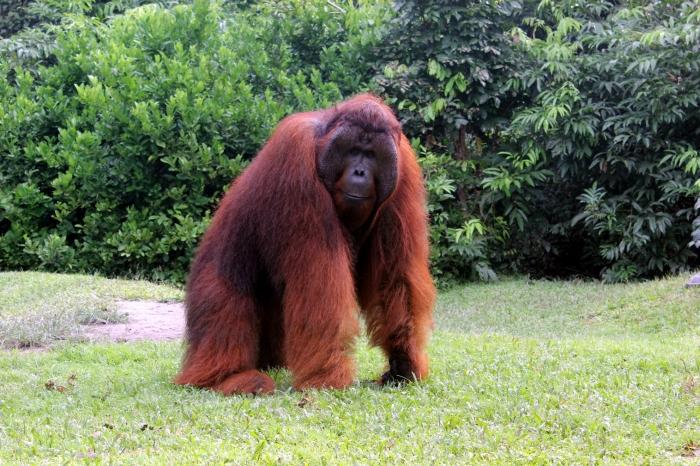 Orangutan-Borneo
