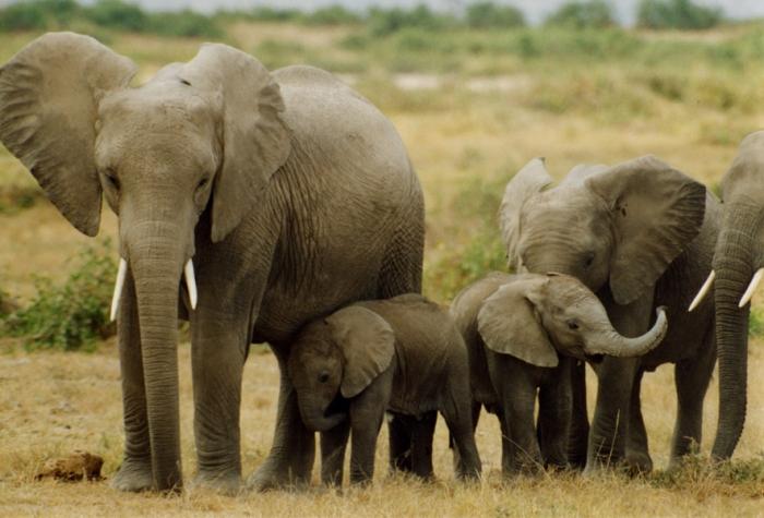 elephants_Peter Knights
