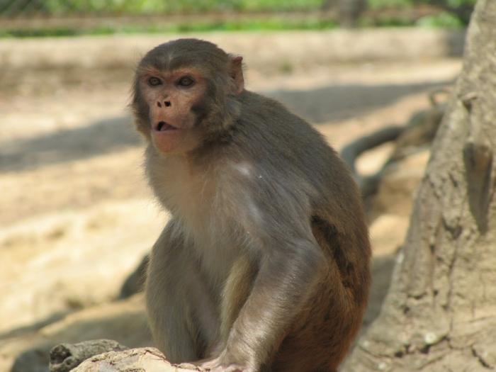 rhesus_monkey_by_mfekse-d3gehvk