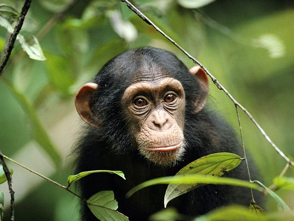 young-chimp_763_600x450