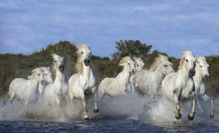 A_herd_of_white_horses_ga