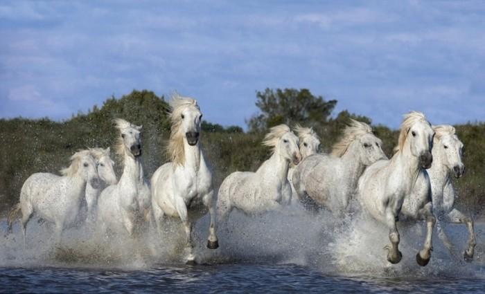A_herd_of_white_horses_ga