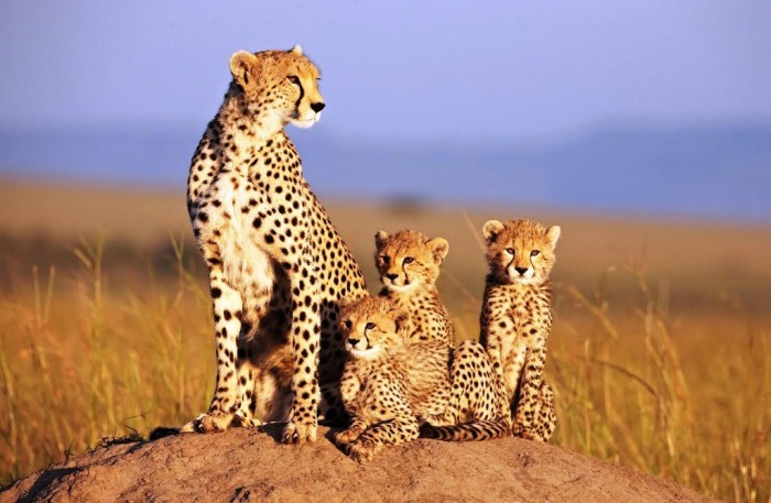 African Cats Disneynature 5 August