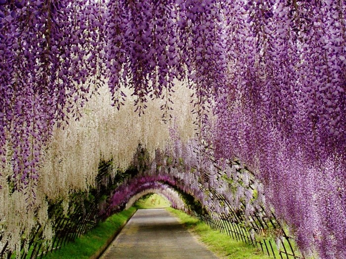 Wisteria Flower Tunnel in Japan.
