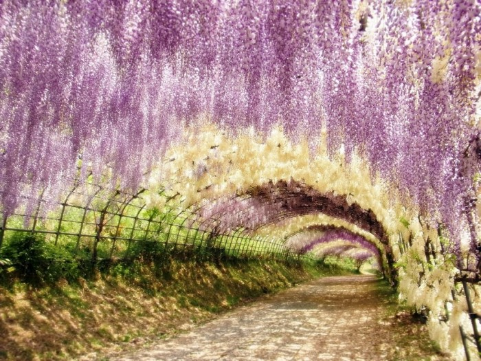 Wisteria-Tunnel-Japan-4