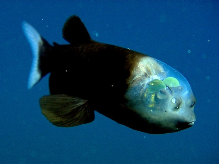 Deep Sea creatures of the Mariana Trench (Mariana trench - Barreleye)