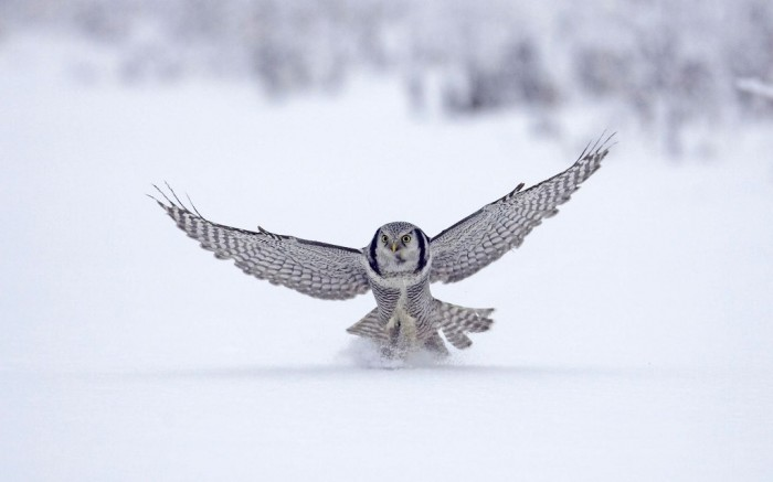 Finland animals-appealing-animals-northern-hawk-finland-notebook-imagery-windows-background