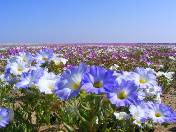 The Flowering Desert, Chile It occurs once every few years