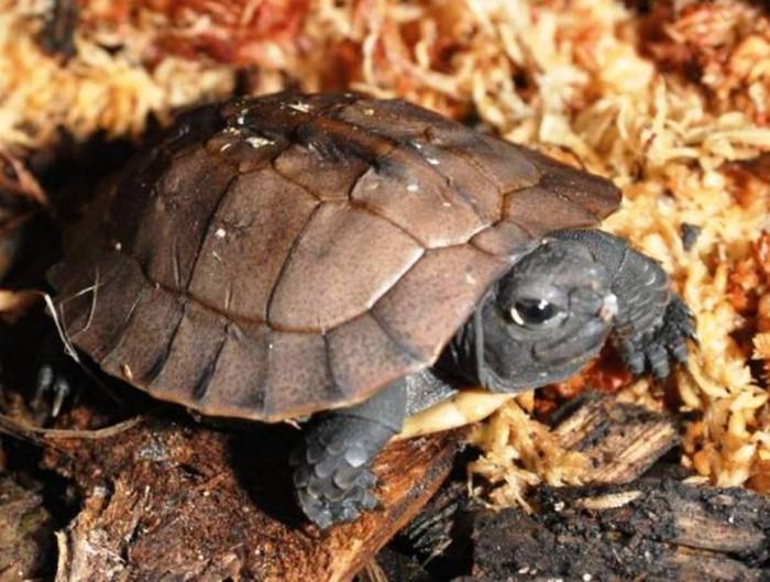 Arakan_Forest_Turtle