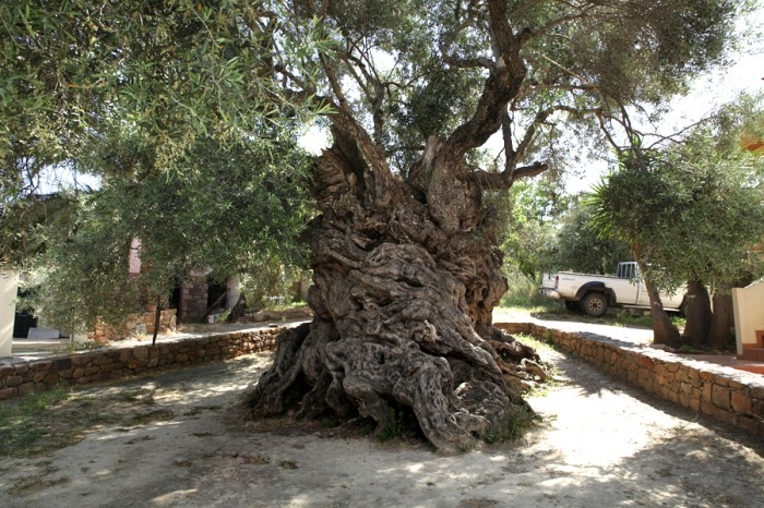 Olive Tree of Vouves