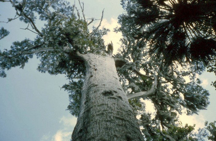 Senator_Tree,_looking_upward