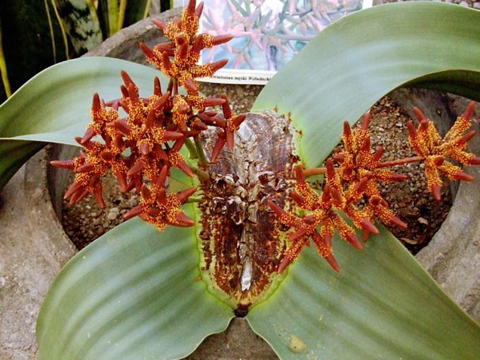 Welwitschia-mirabilis-male