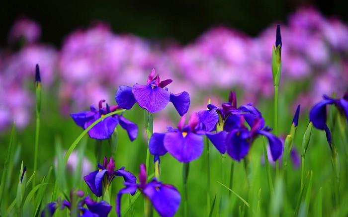 iris-flower-658-2