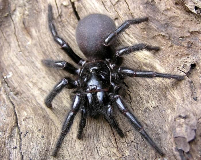 sydney-funnel-web-spider