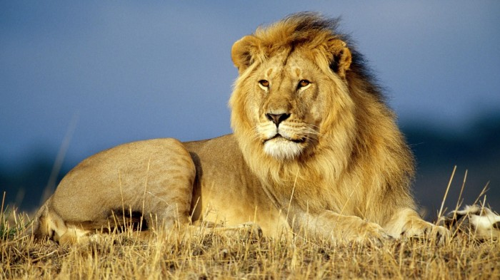 the-best-lion-pictures-7