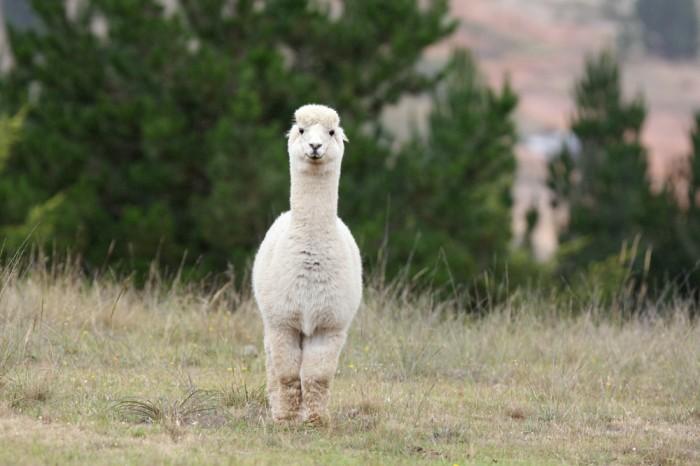 Alpaca_(6741697651)
