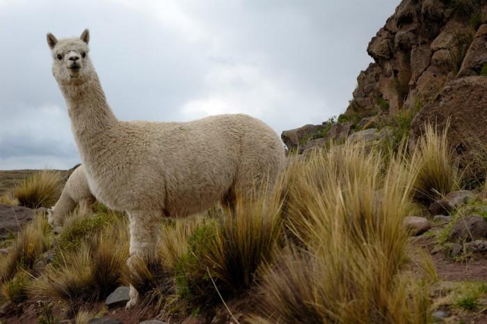 Alpacas_Sillustani_(pixinn.net)
