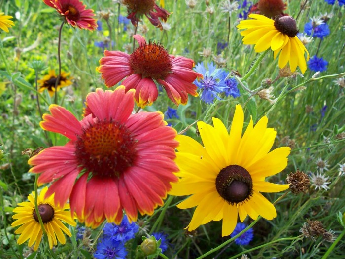 Coneflowers in the Wildflower Bed