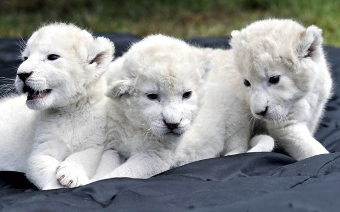 Most-Expensive-Pets-In-The-World-White-lion-cubs