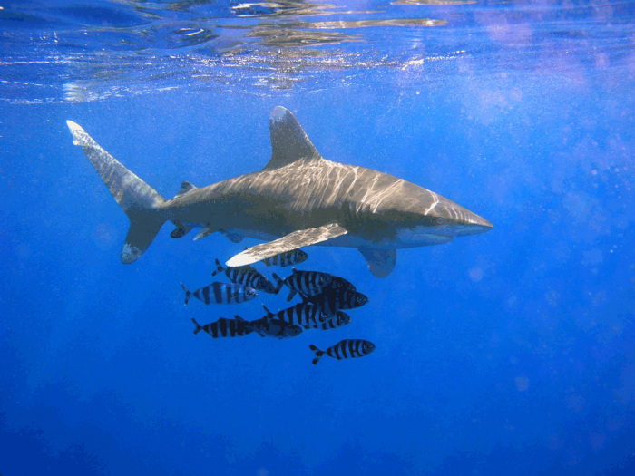 Top 10 Most Dangerous Sharks On The Earth