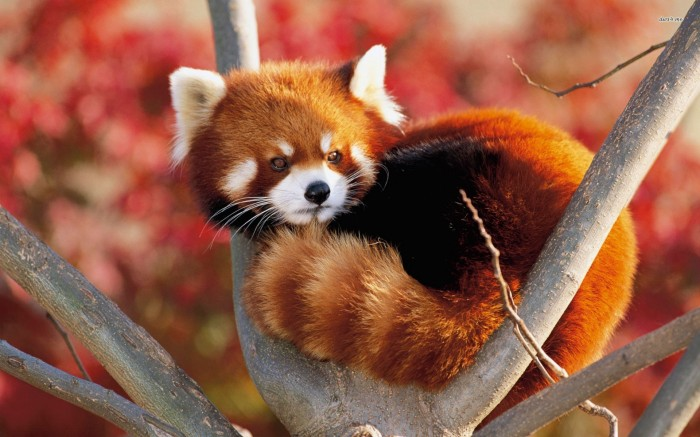 animal-wallpapers-red-panda-hd-wallpaper-wallpaper-32509