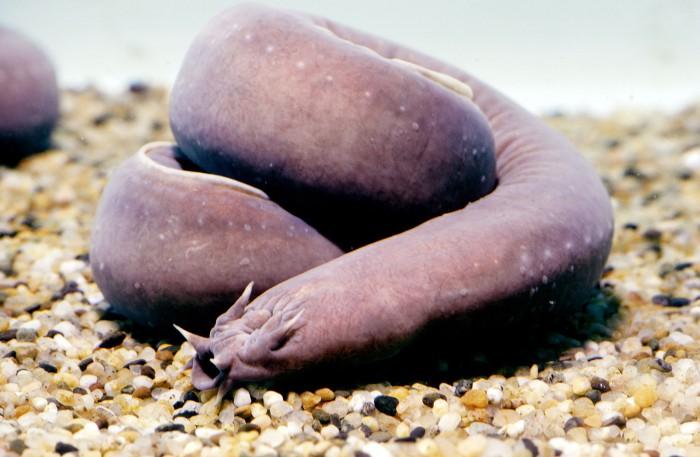 hagfish-getty-01a