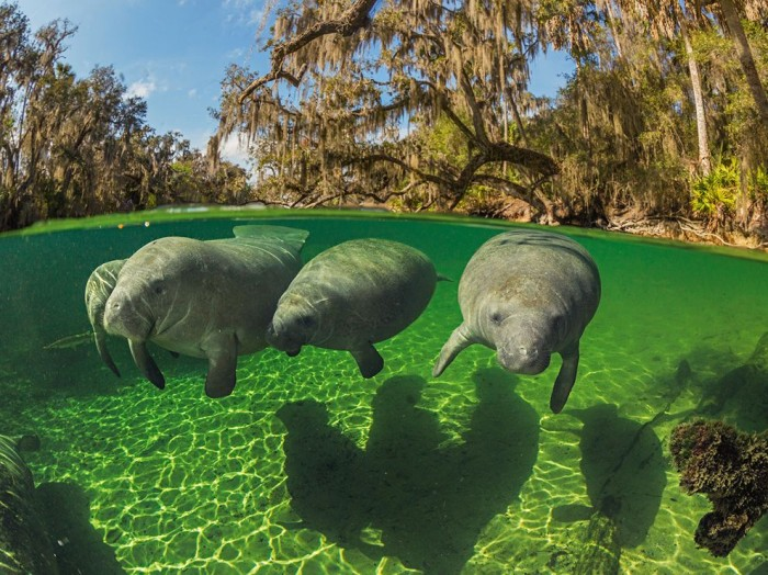 manatee-florida-nicklen_68757_990x742