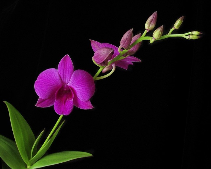 orchid-lavender-pretty-flower