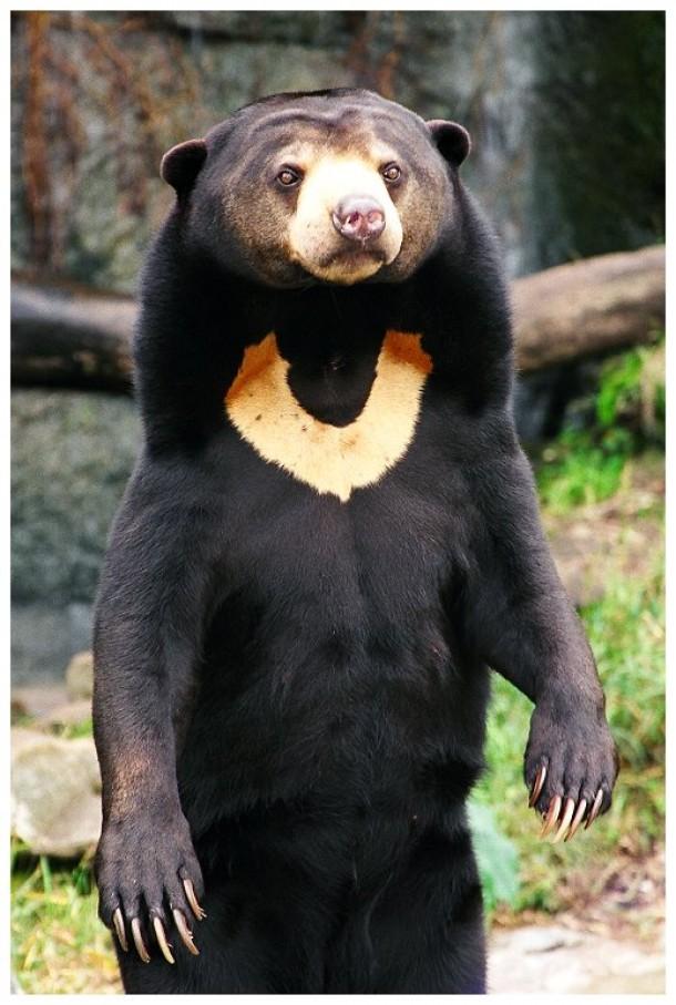 sun-bear-18728