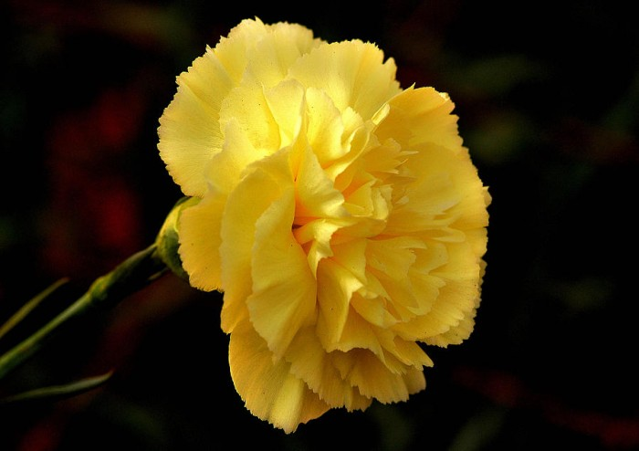 1-yellow-carnation-flower-johnson-moya