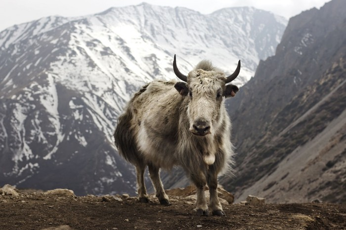 1280px-Bos_grunniens_at_Letdar_on_Annapurna_Circuit
