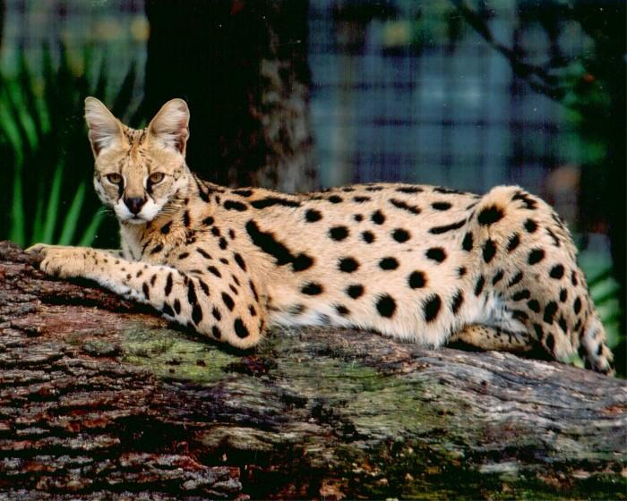407177-animal-lovers-savannah-cat