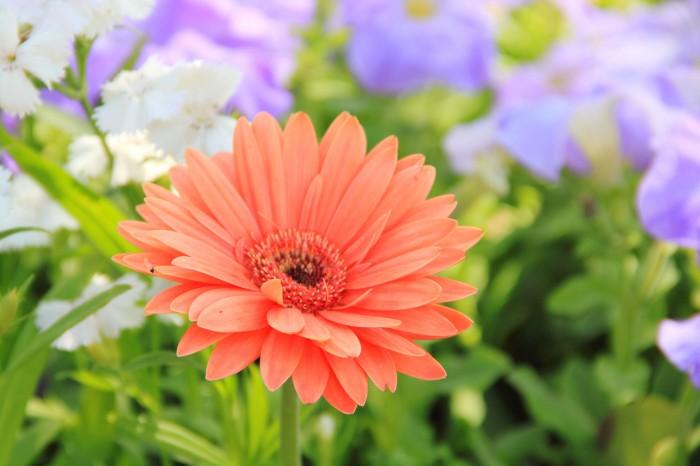 A_Daisy_flower