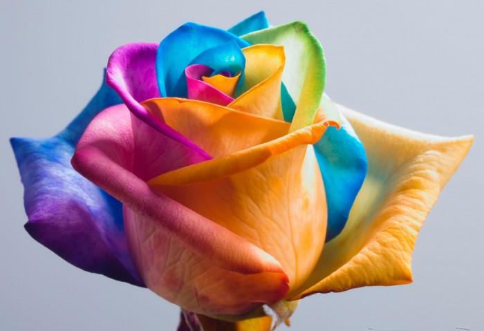 Beautiful-Rainbow-Rose-Flower-