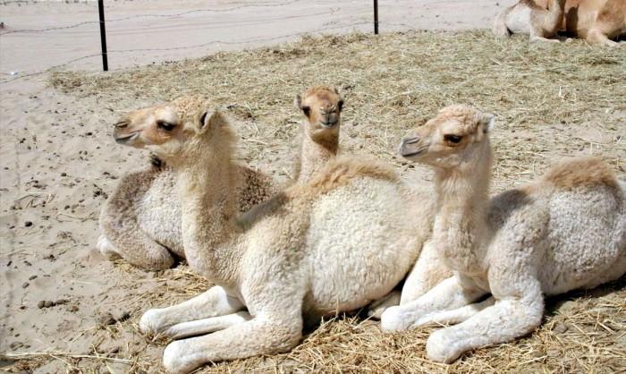 Camels_in_Dubai_2