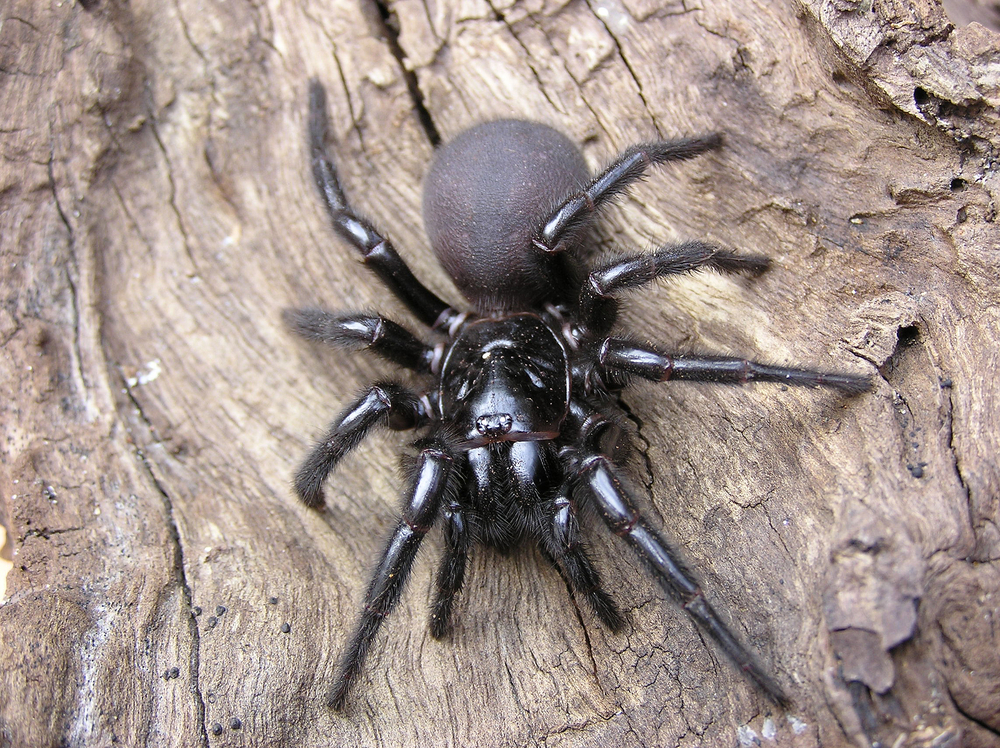 Northern Funnel Web Spider