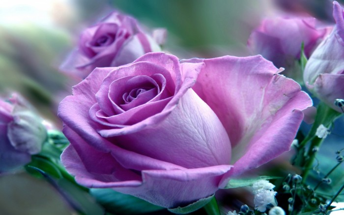 Purple-Rose-Flower