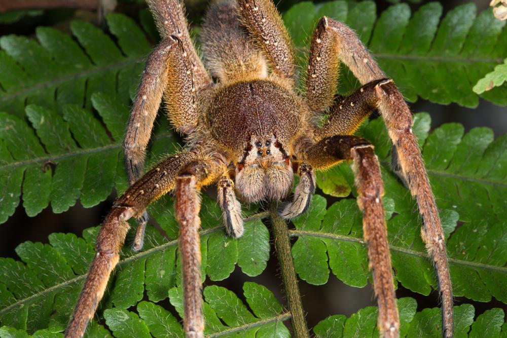 The Brazilian Wandering Spider