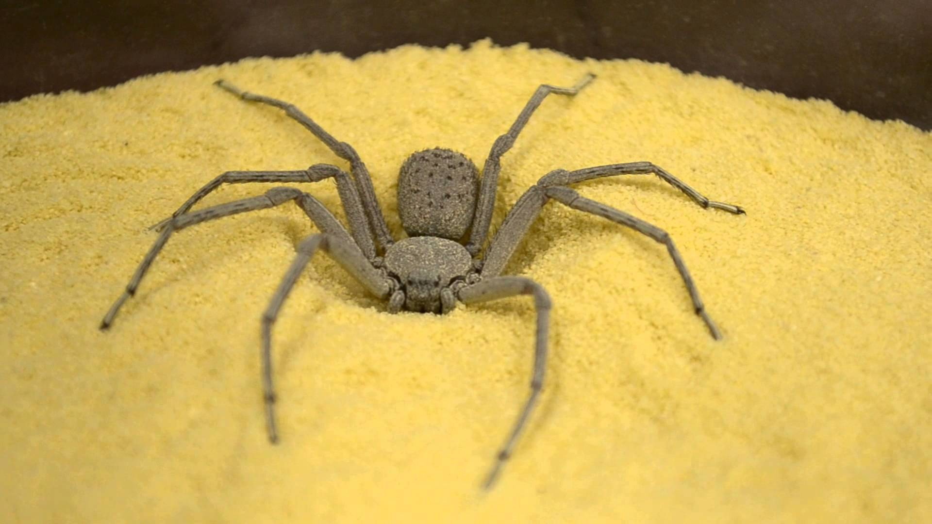 The Six-Eyed Sand Spider