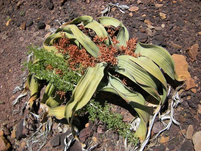 Welwitschia_Mirabilis,_Männliche_Blüte_Namibwüste,_Namibia_02