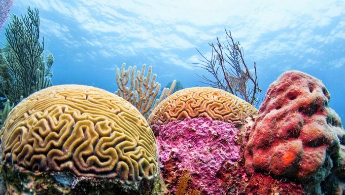 brain-coral_lrg