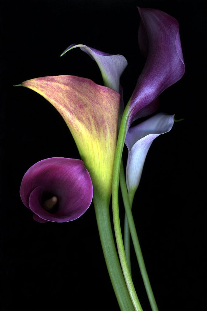 calla-lilies-flowers