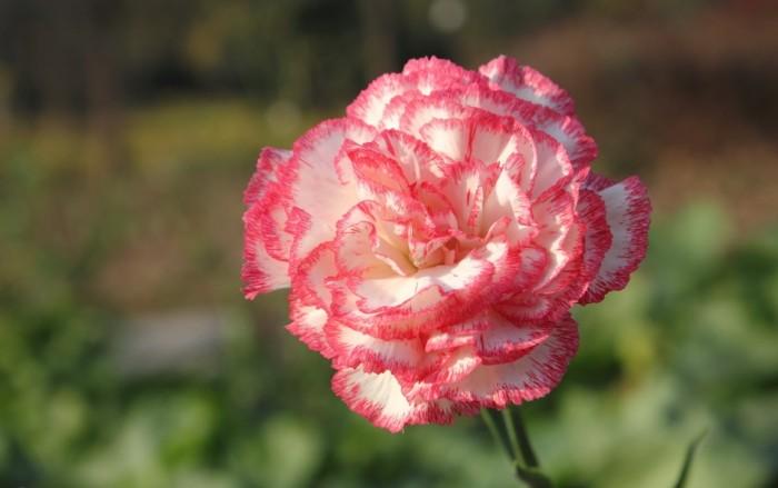 carnation-flower_31