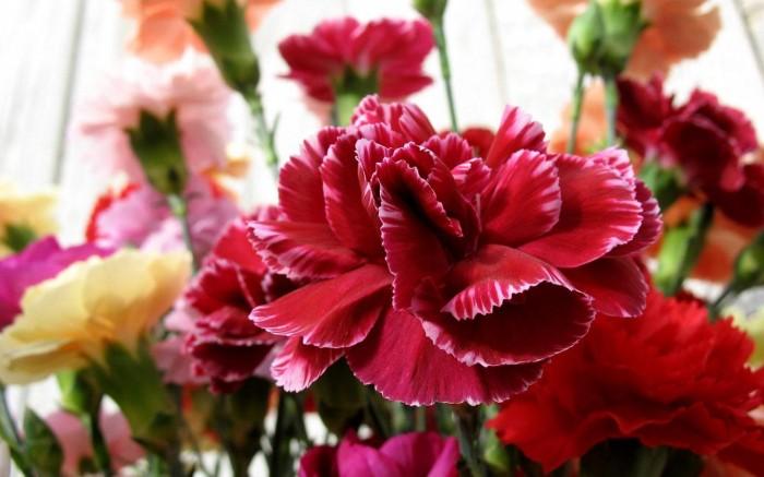 carnations-flower-542-21